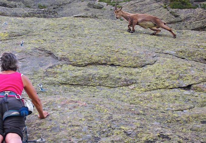 goat-rock-climbing-ibex